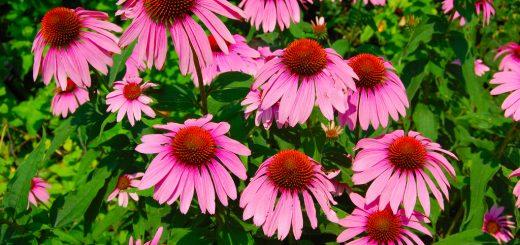 اکیناسه یا سرخار گل