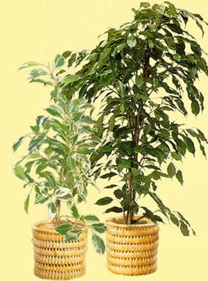 پرورش گیاه بنجامین