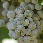 سفیدک پودری انگور