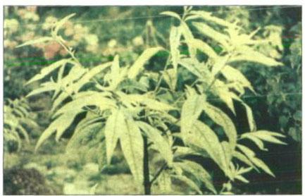 کمبود آهن در برگ های درختان جوان هلو