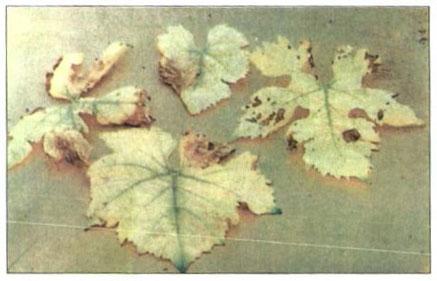 کمبود شدید آهن در برگ انگور