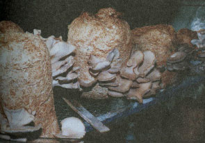 پرورش قارچ صدفی خوراکی