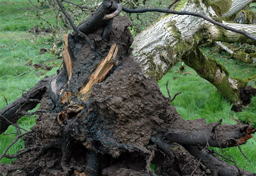 پوسیدگی ریشه