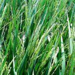 جوانه دار کردن بذر برنج