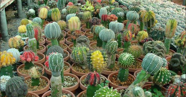 cactus-articles