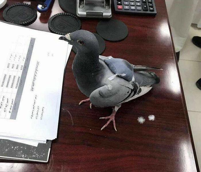 انتقال مواد مخدر با کبوتر