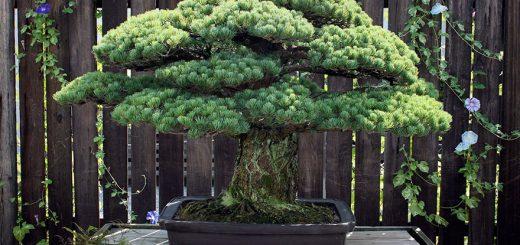 درخت بنسای