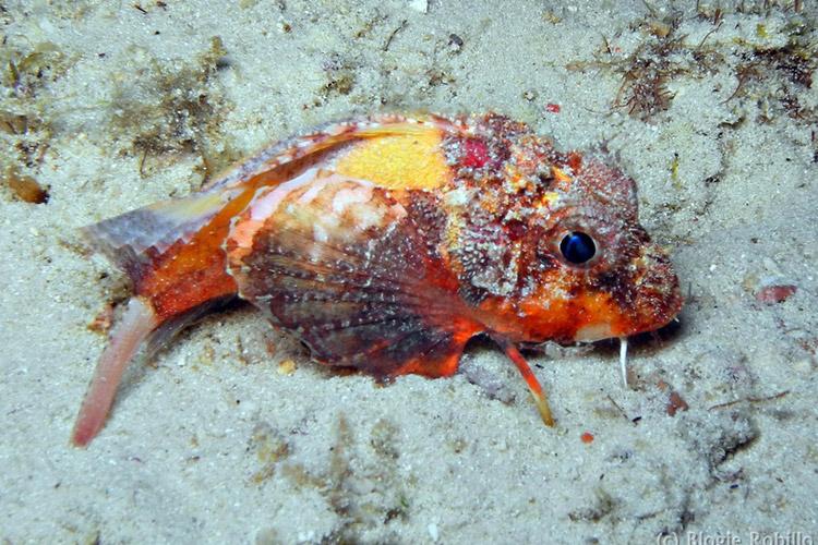 ماهی عجیبی که میتواند راه برود