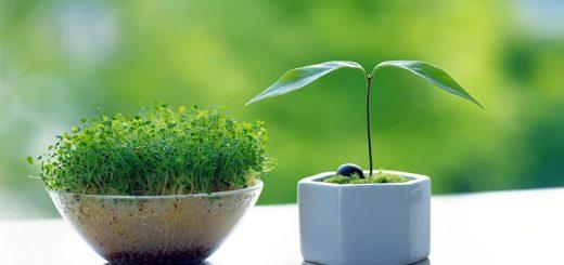 روش سبز کردن عدس