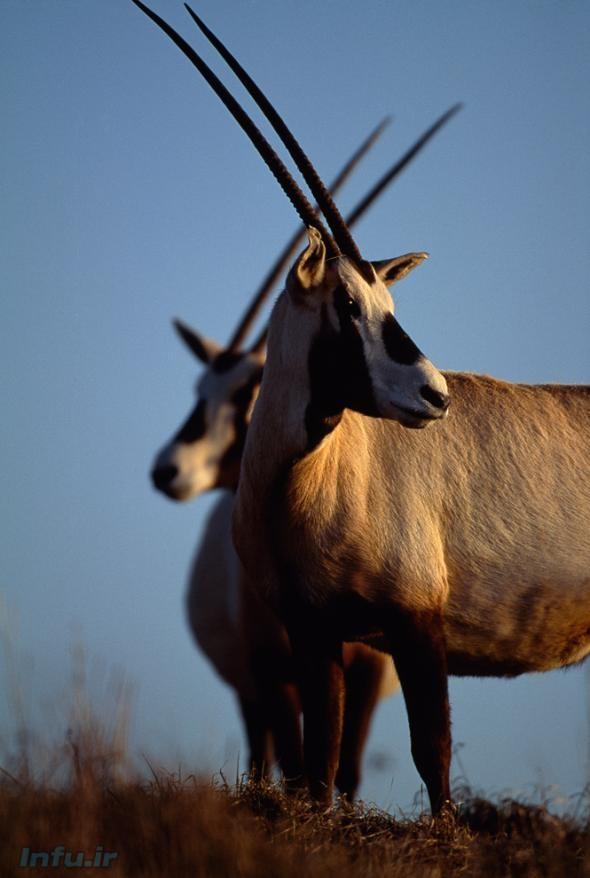 غزال عربی در مرکز حفاظت و احیای باغ وحش ملی ِ ایالات متحده در «فرونت رویال»؛ ویرجینا