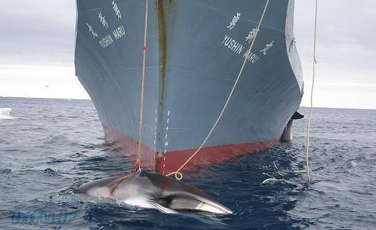 تا دهه ۸۰ میلادی حدود ۲۵۰ هزار نهنگ در آبهای جهان وجود داشت، رقمی که امروز به حدود ۱۲ هزار نهنگ کاهش یافته است