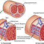 نویسندگان این مطالعه بر این باورند که کافئین ممکن است موجب گشاد شدن عروق موجود در بافت اسفنجیشکل آلت تناسلی مرد شود.