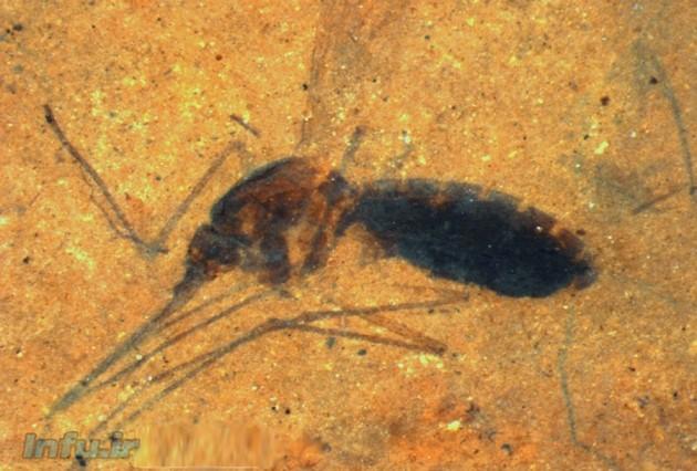 فسیل از پشهای پُرخون
