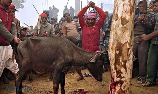 در آخرین مراسم که سال ۲۰۰۹ برگزار شد حدود ۳۰۰ هزار حیوان قتل عام شدند.