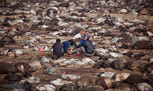«جشنواره گادهیمای» بزرگترین کشتارگاه حیوانات در جهان بهشمار میرود