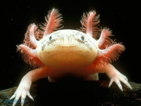 – اکسولوتل، یا «ماهی راهروندهٔ مکزیکی»، علیرغم چهره ظاهراً خندانش از جمله حیوانات زشت در معرض انقراض شناخته میشود .