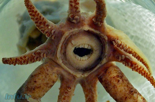 ماهی مرکب دهنگشاد