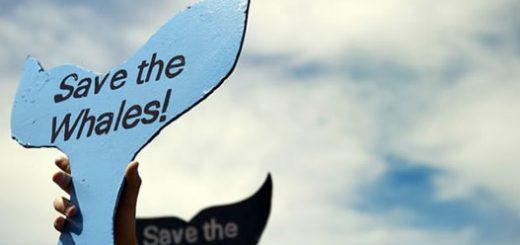 یکی از طرفداران پروپاقرص صید نهنگ در ژاپن نخست وزیر این کشور، شینزو آبه است