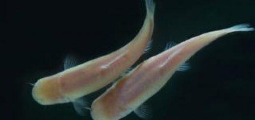 Phreatichthys