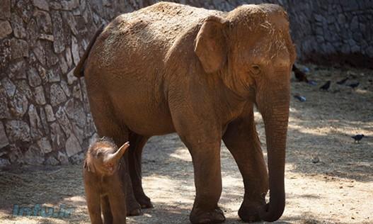 فیل آسیایی با تخریب زیستگاه طبیعی و شکار غیرقانونی تهدید میشود.