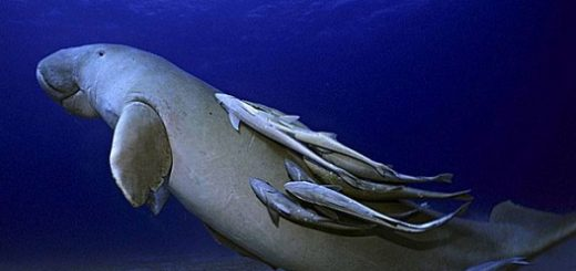 گاوهای دریایی یا دوگانگ ها از جمله پستانداران آبزی و بزرگ خلیج فارس هستند