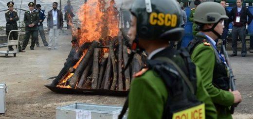 مراسم سوزاندن بیش از دو تن عاج در هانوی، ویتنام – عکس: AFP
