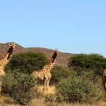 زرافههای کالاهاری در آفریقای جنوبی