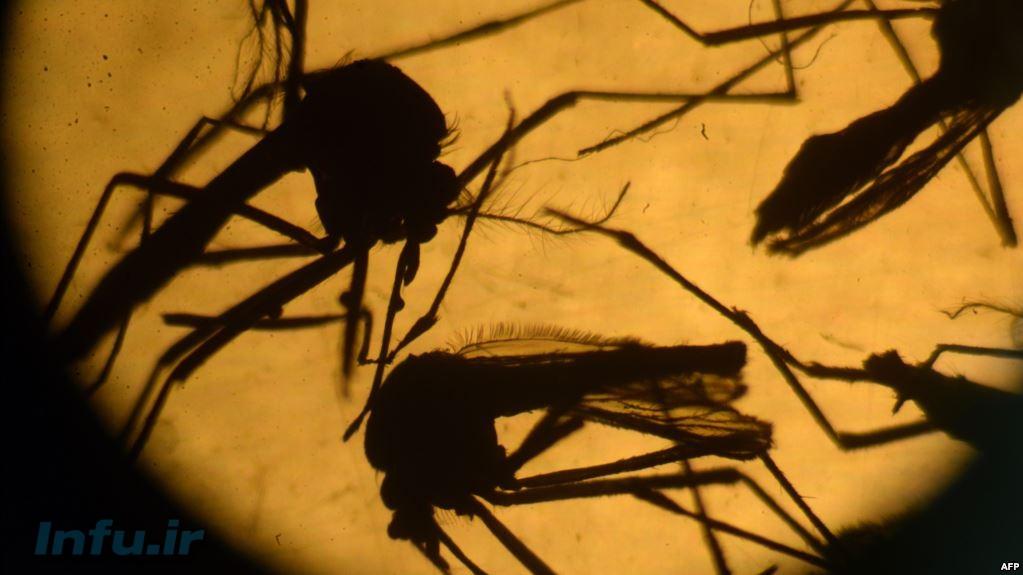 پشههای ناقل زیکا