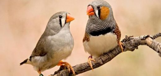 آوازخوانی توسط پرندگان