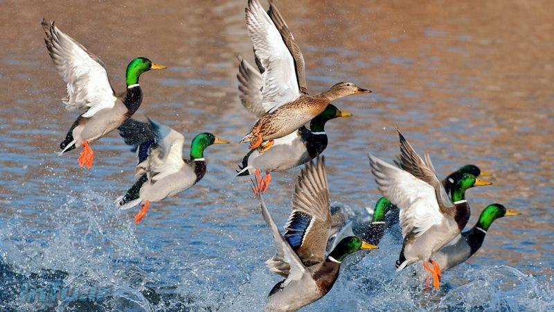 مهاجرت پرندگان