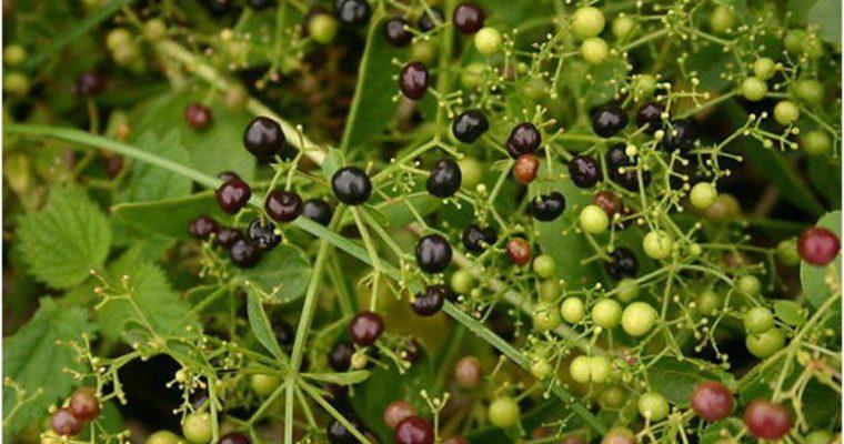 طبیعت و خواص درمانی گیاه روناس