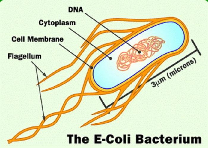 باکتری ئی کولی ساختار سلول