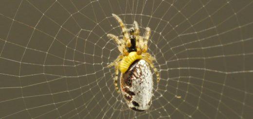 عنکبوت های زامبی