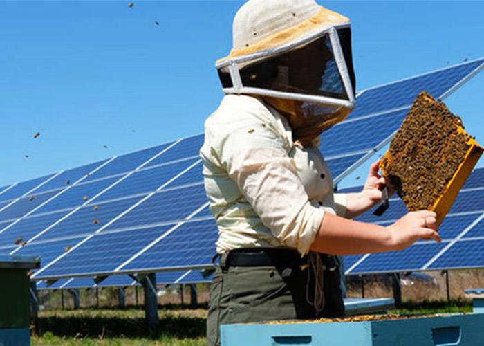 ایجاد زیستگاه های گرده افشانی در مزارع تولید برق از صفحات خورشیدی