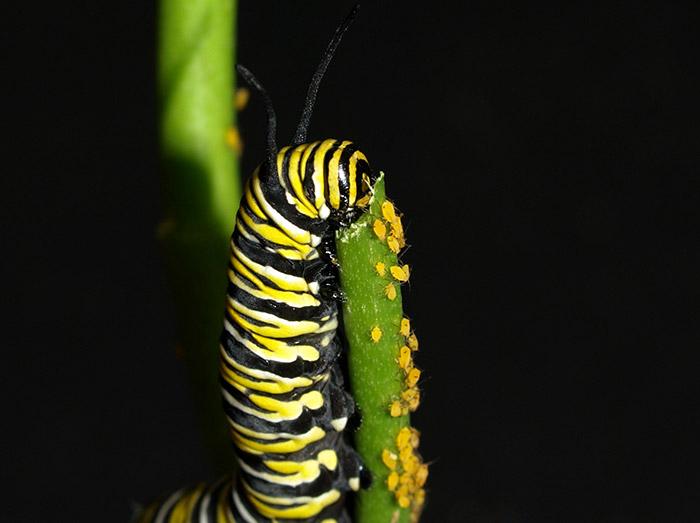 پروانه پادشاه