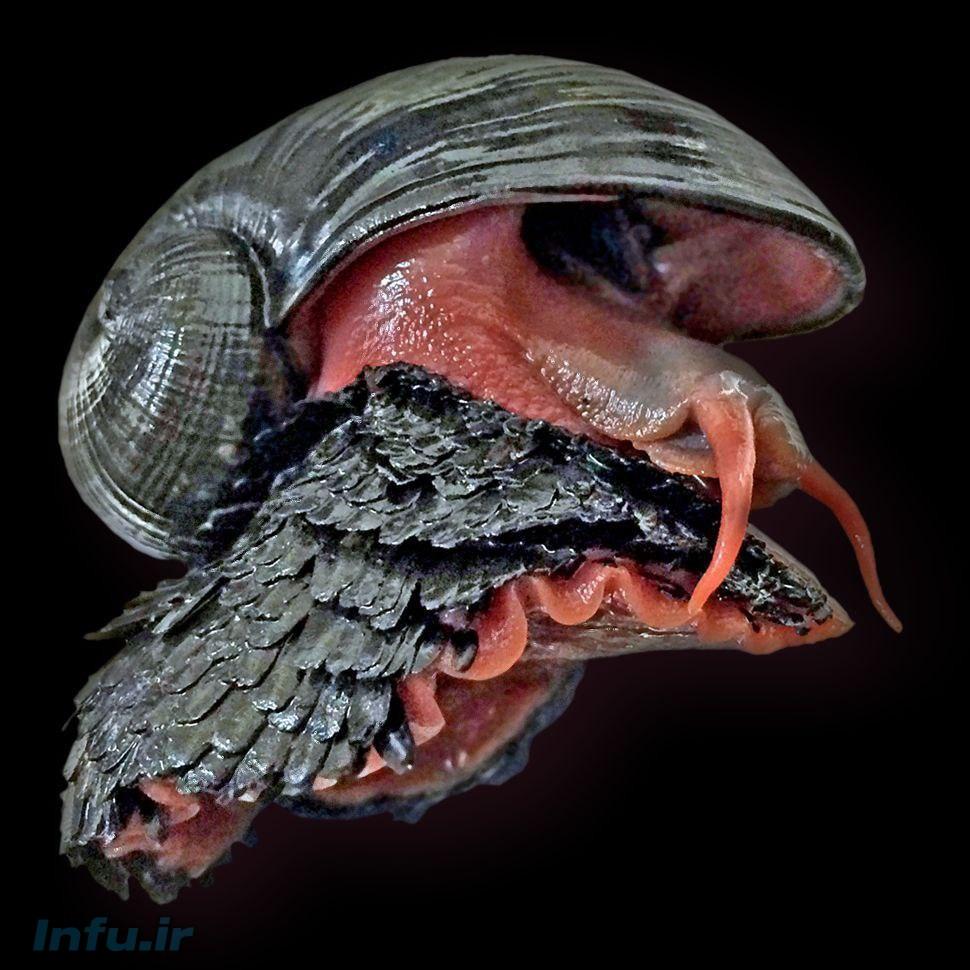حلزون Chrysomallon Squamiferum